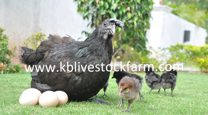 KB Live Stock Farm